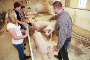 Picture of Ag students working with livestock